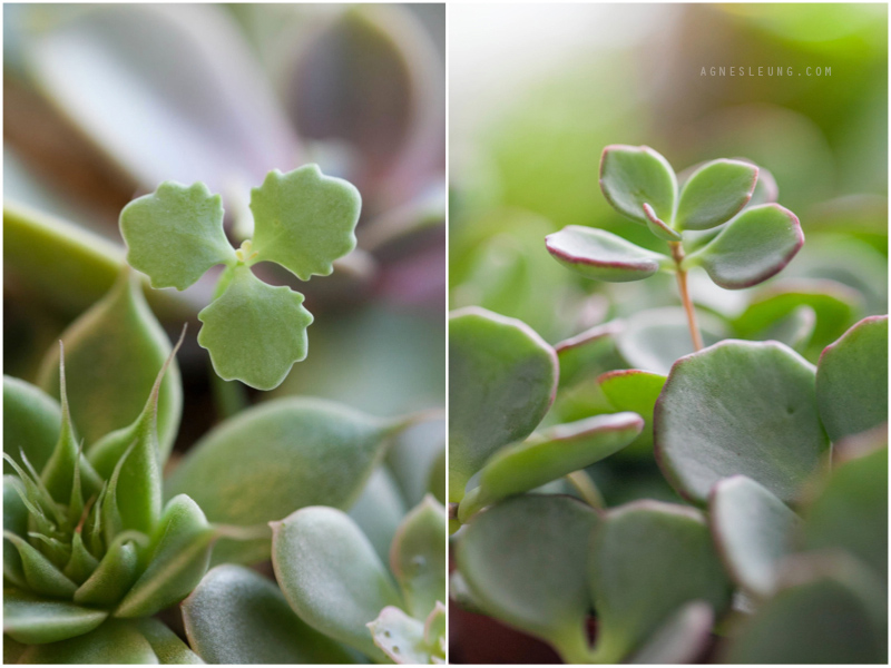 succulent-s6
