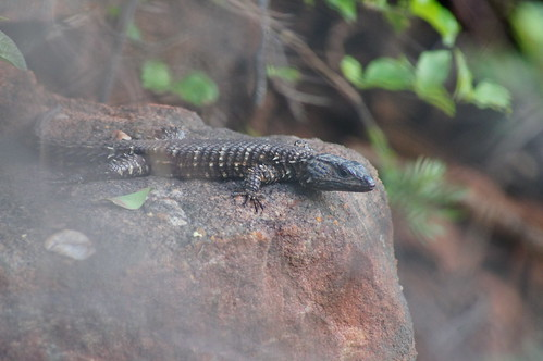 Van Dam's Girdled Lizard