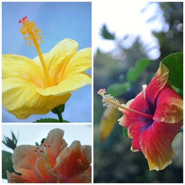 Tri-Hibiscus