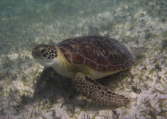 Playa Akumal, Nado con tortugas marinas