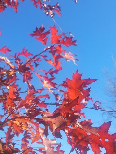 Pin Oak Leaves Nov 2012
