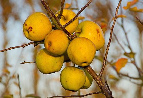 Autumn Apples, East Farleigh
