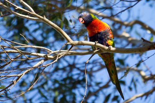 Rainbow Lorikeet 2012-11-11 (_MG_6564)