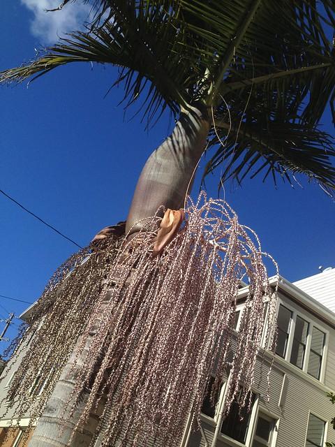 King palm (Archontophoenix cunninghamiana, Arecaeae)