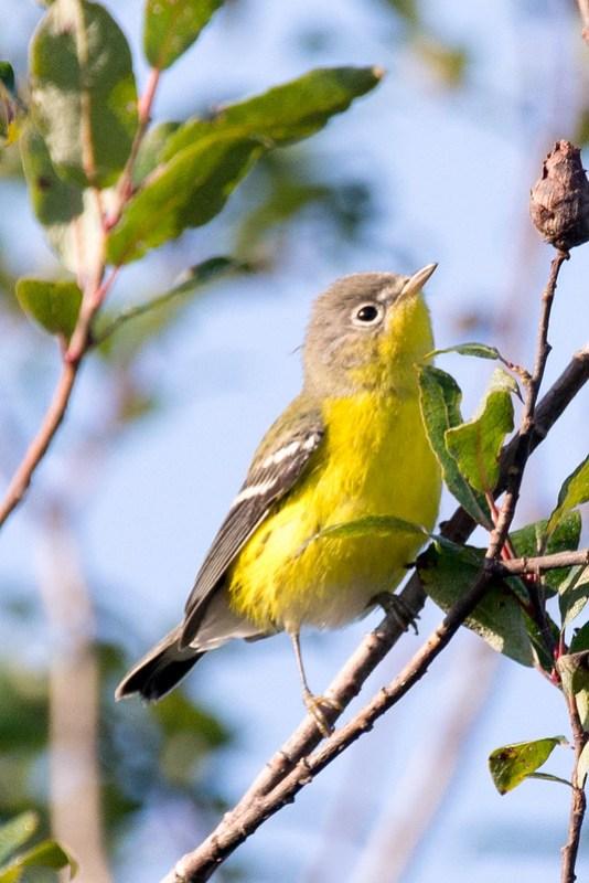 _DSC3543 Magnolia Warbler