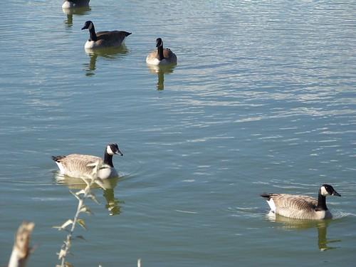 goose 031