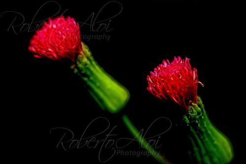 Red Florida Tassel Weed