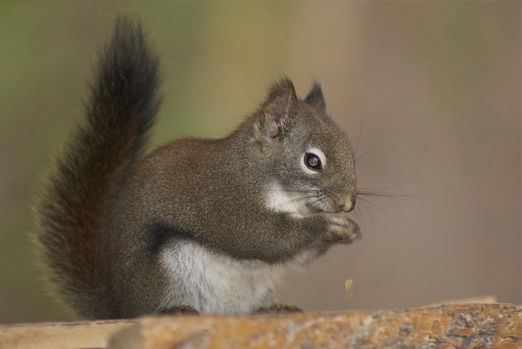 Red Squirrel, Pine Squirrel