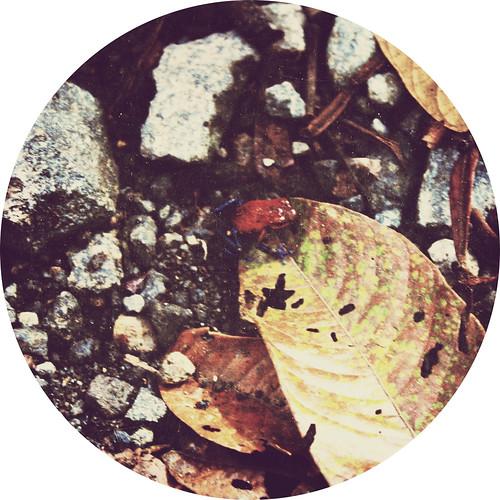 Poisonous Tree Frog