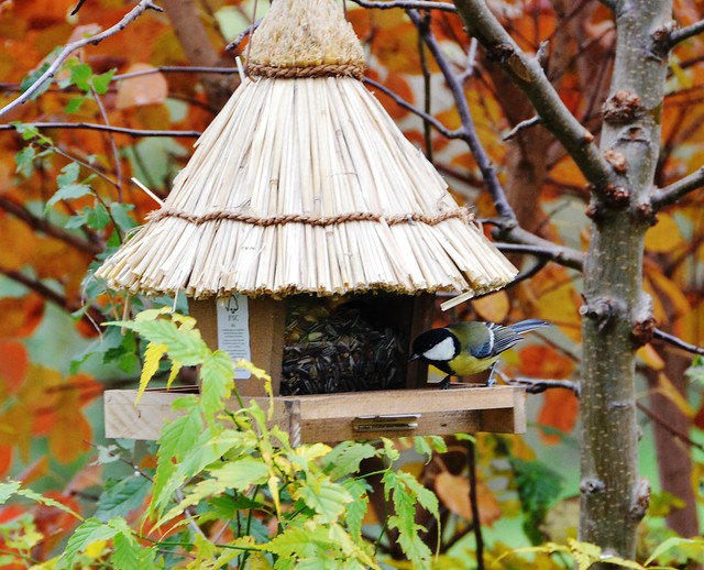 Blue tit feeding at bird house