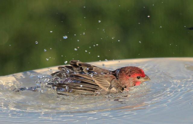 House Finch Bathing