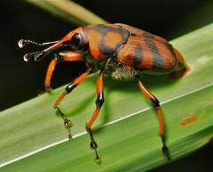 Bamboo Weevil (Curculionidae)