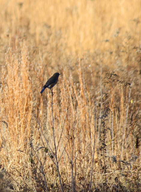 femaile bluebird?