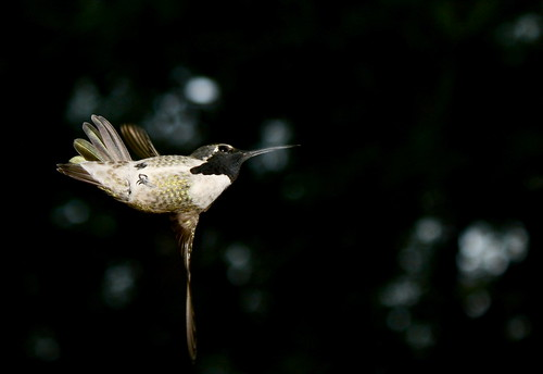Humming Bird in Flash