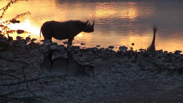Rhinoceros and Giraffe