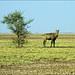 Antilope azzurra