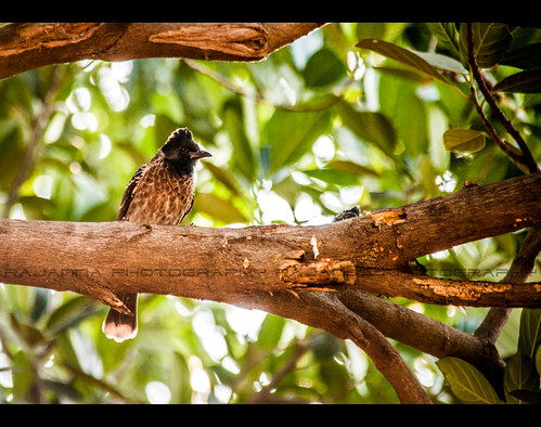 Red vented Bulbul by Rajanna @ Rajanna Photography
