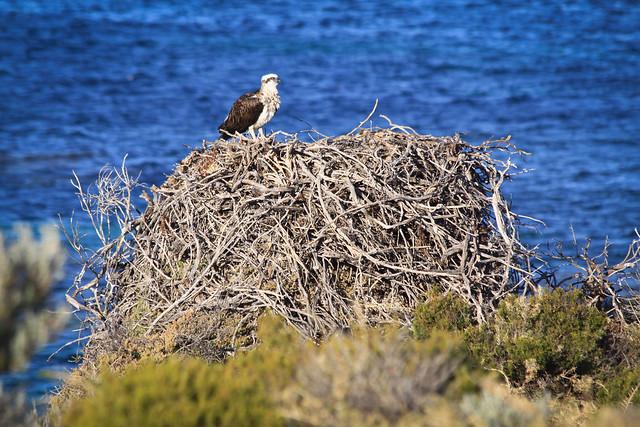 Osprey Nest, Rottnest Island W.A