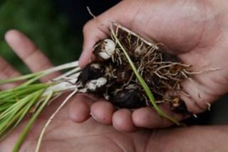 Camas Root (Camssia quamash)