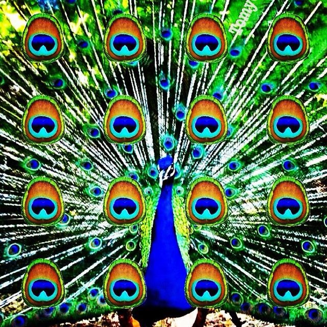 Pop-Peacock – Pavo real muy Pop