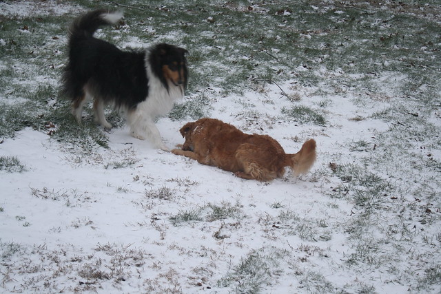 dogs play in the snow