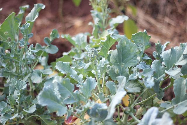 Brócolis é amor :-)