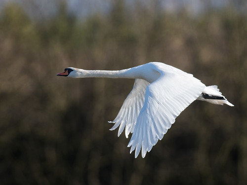 Mute Swan-winter light