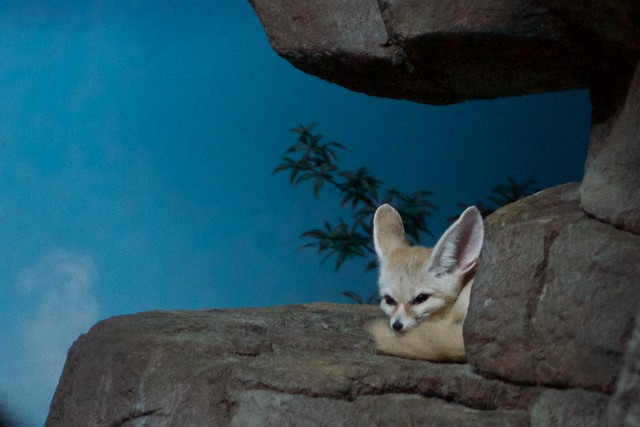 Watching Fennec Fox