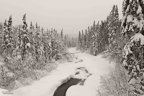 Timeless Conifer Forest Stream by Don Iannone