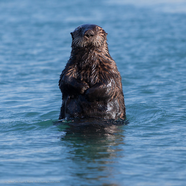 Sea Otter periscoping up out of smooth ocean waters, looking straight at the camera