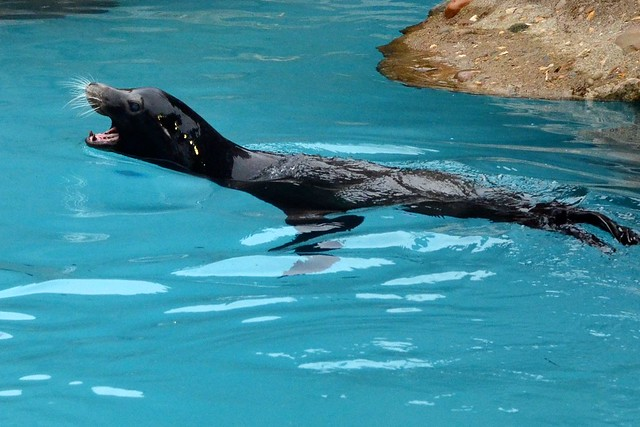 Loud Sea Lion