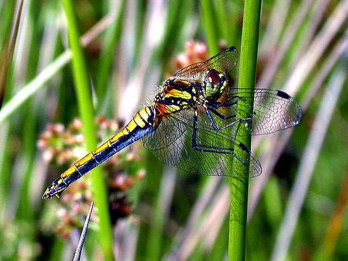 Black Darter Sympetrum danae Skipworth Common NR, North Yorkshire July 2008