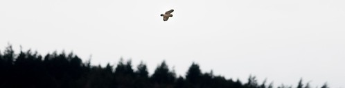 A Short-eared Owl cruising over its domain, oblivious to human travails.