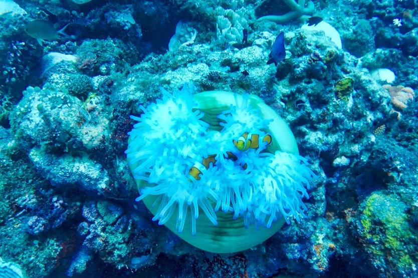 A couple of Clownfish.