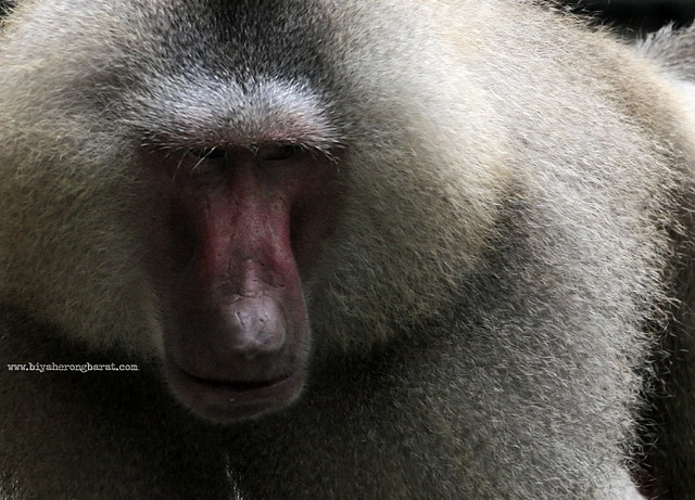 Hamadryass Baboon in Singapore Zoo