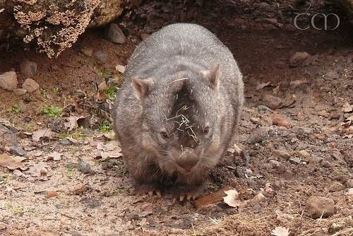 ...and the seldom seen Wombat!