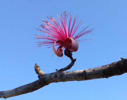 Shaving Brush tree - Pseudobombax ellipticum by Ann Stafford