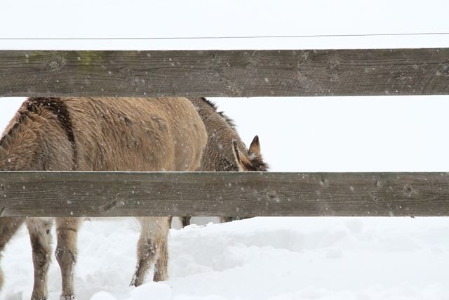 snow donkeys