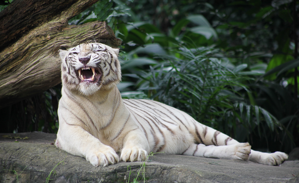 White Tiger Growl