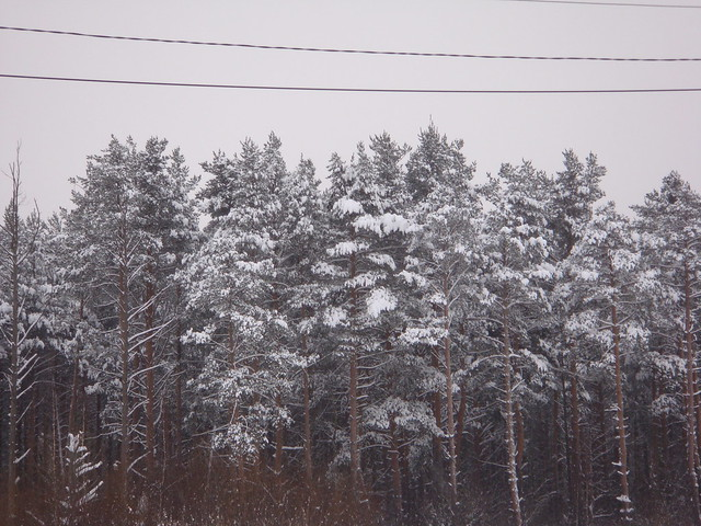 Заснеженный лес // Forest covered with snow