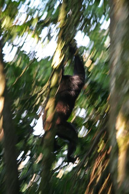 chimp climbing down a vine