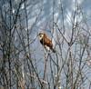 Rough-legged Hawk, Great Swamp, N.W.R., Dec. 31, 2012