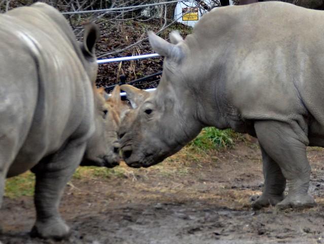 Rhinoceros Secrets