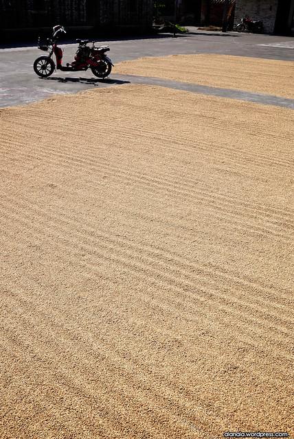 Sun drying the rice