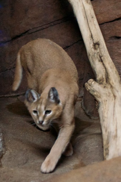 Stalking Caracal