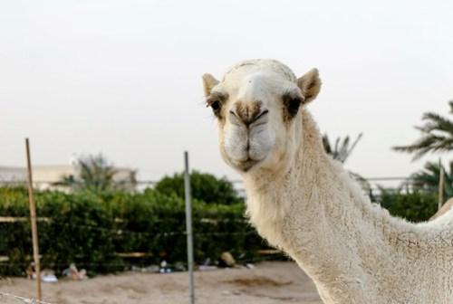 Smug Camel is Smug (P365-20)