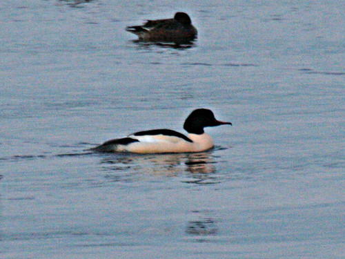 Goosander Mergus merganser Tophill Low NR, East Yorkshire January 2013