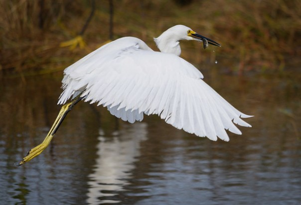Snowy Egret with minnow