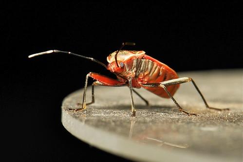 Seed Bug (Physopelta cincticollis, Pyrrhocoridae)