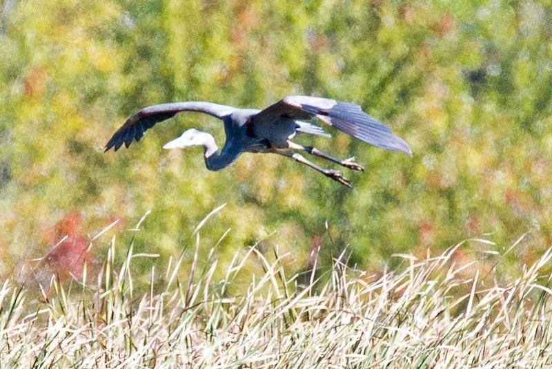 _DSC4559 Great Blue Heron
